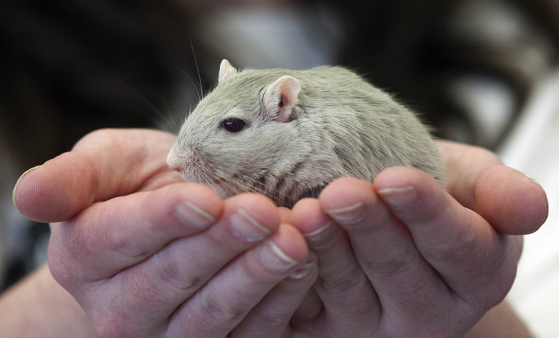 Gerbils like this one belonging to Diane Nott, of Elyria, Ohio, are judged on body type and agility during the American Gerbil Society's pageant.