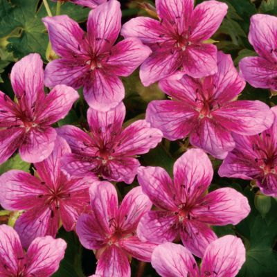 """Starman"" was called the best perennial geranium by Fine Gardening."