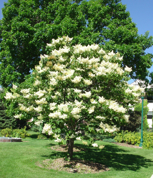Consider a Japanese tree lilac if you get a lot of road salt in your yard, because it resists salt's effects.
