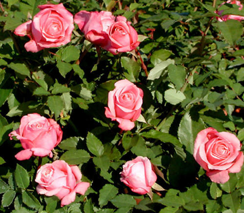 Belinda's Dream was the first to be designated an Earth-Kind rose. A rose circle at Deering Oaks will be planted this year as a test station for Earth-Kind roses.