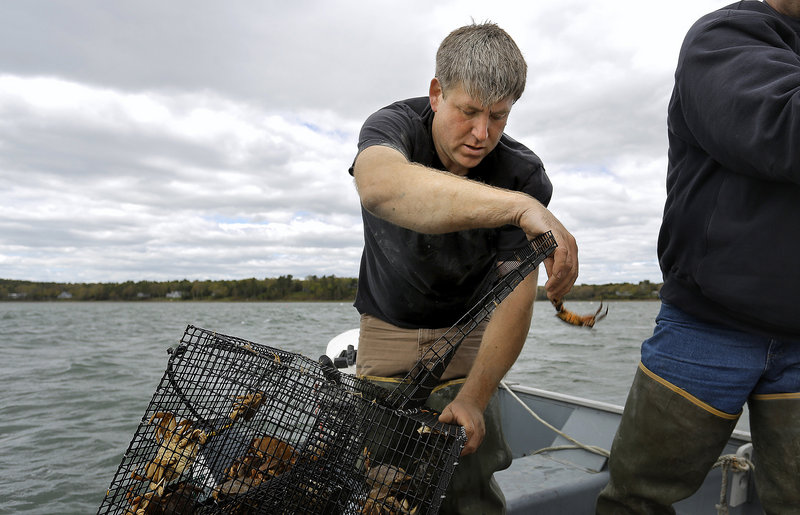 "Chad Coffin, president of the Maine Clammers Association, sorts through a trap off the coast of Freeport Friday, looking for green crabs. He believes the proliferation of these crabs could have a ""dire"" impact on soft-shell clams."