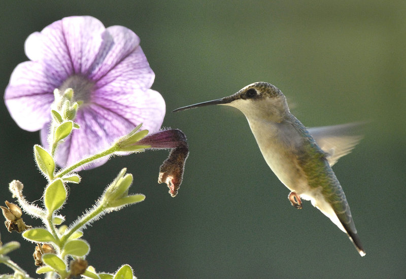 Ruby-throated hummingbirds, with their telltale hovering flight and appetite for nectar, arrive later than other migratory species, usually in early May.