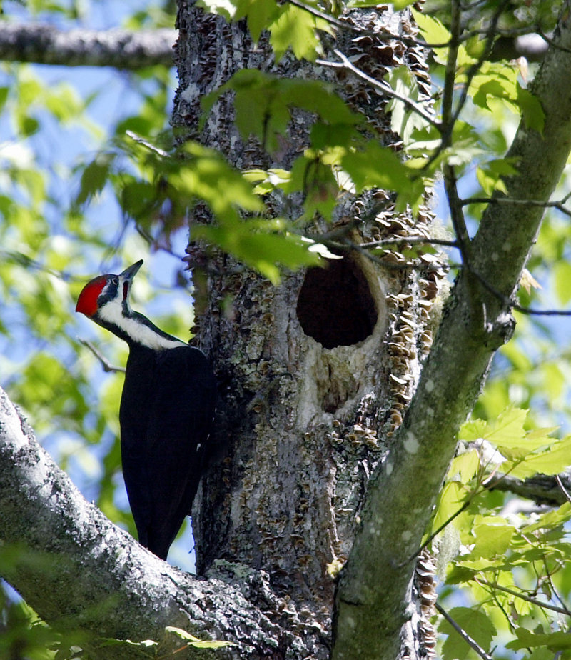 The pileated woodpecker is very fond of carpenter ants. These hard-working birds can burrow deep into a tree, then use incredibly long barbed tongues to harpoon insects.