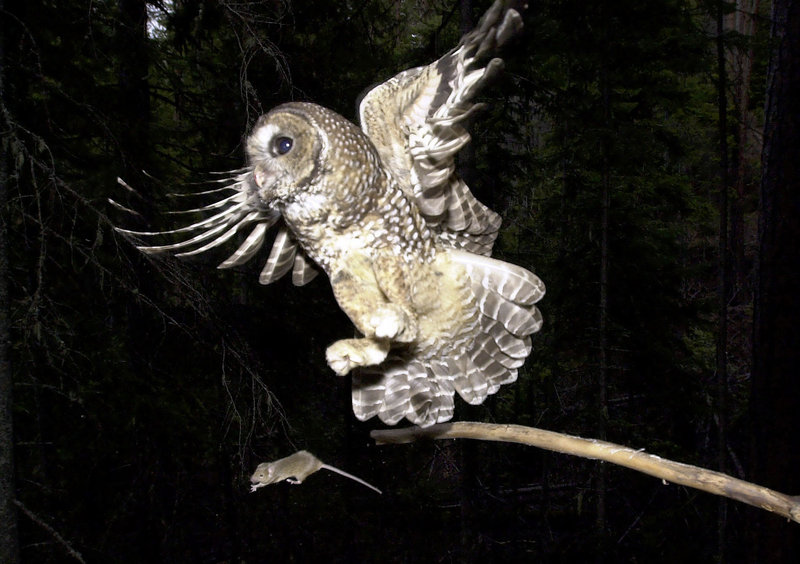 In the West Coast marijuana-growing region known as the Emerald Triangle, scientists want to know if rat poison spread around illegal pot farms is killing spotted owls such as this one being offered a mouse by a biologist in Oregon.