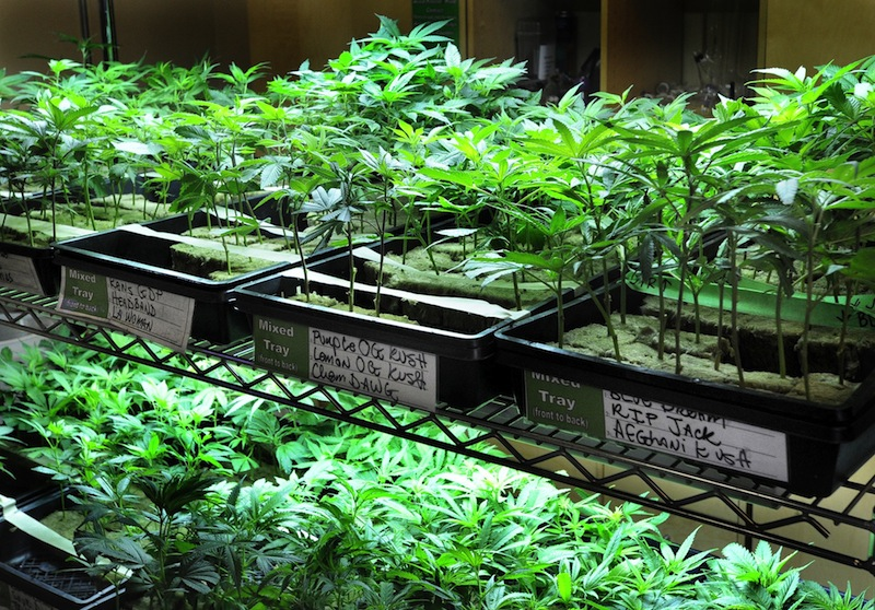 In this August 2012 file photo, many varieties of marijuana seedlings are on display. A national group that wants to legalize marijuana is taking advantage of this weekend's high-profile beer festival in Portland by handing out fliers saying marijuana is safer than alcohol.