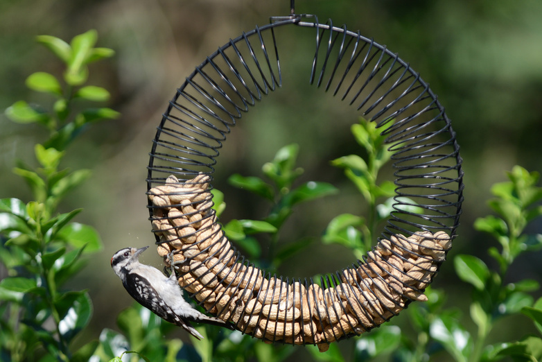 A bird perches on a feeder filled with peanuts in the back yard of Alfred Rockefeller in Ramsey, N.J. Rockefeller is facing a fine after neighbors complained that his bird feeder is attracting too many animals.