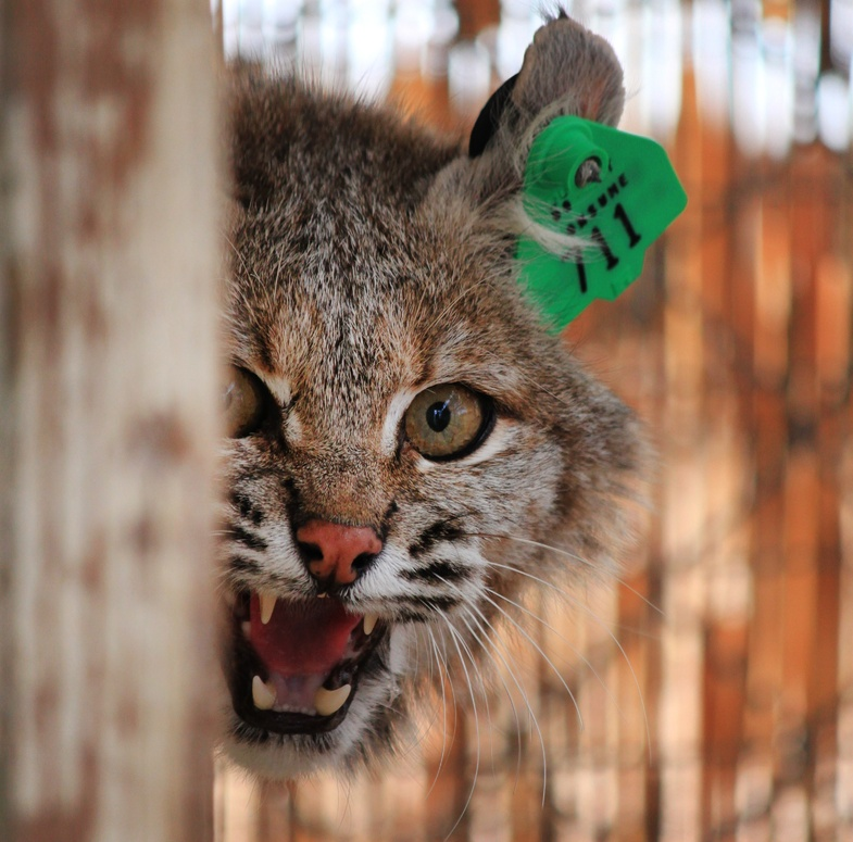 A female bobcat is shown at a wildlife refuge in New Mexico. A man shot a bobcat to death in Massachusetts after he it attacked him, he said.