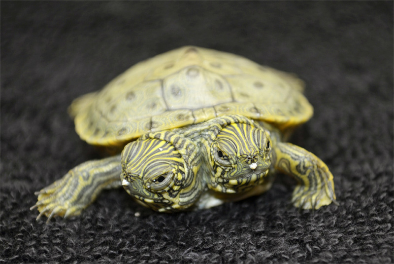 Thelma and Louise, a two-headed Texas cooter turtle, hatched June 18 at the San Antonio Zoo. Zoo officials on Tuesday, June 25, 2013 said the Texas cooter was born June 18. The unusual turtle was to go on display Thursday at the zoo.
