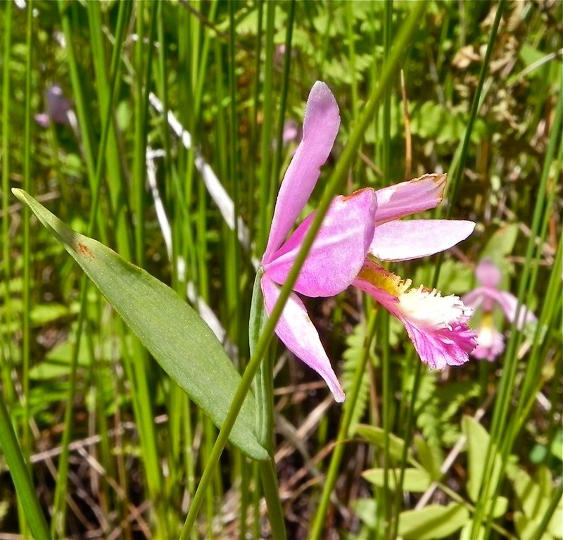 The rose pogonia orchids are among the most picturesque flora on the grounds by the lake.