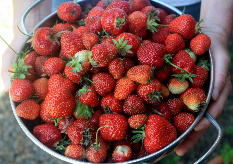 "Eaten straight from the garden, garnishing a drink or topping a salad or dessert, fresh Maine strawberries say ""summer,"" and they're nearing the peak of ripeness now."