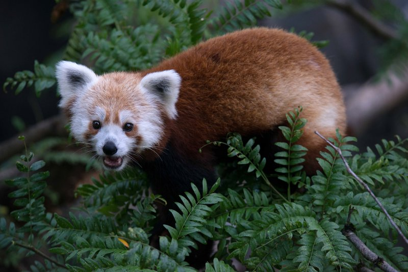A photo provided by the Smithsonian's National Zoo shows a red panda that disappeared from its enclosure at the zoo in Washington.