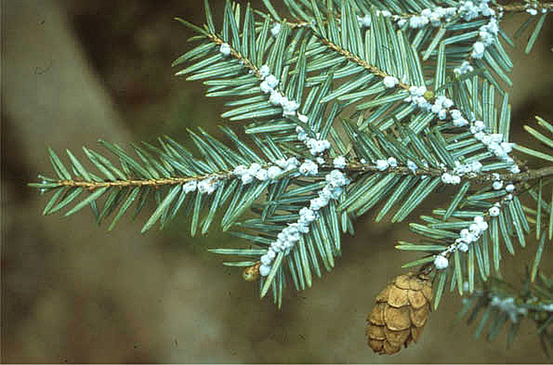 A hemlock branch shows the telltale white wooly masses that show it's infested with hemlock wooly adelgid.