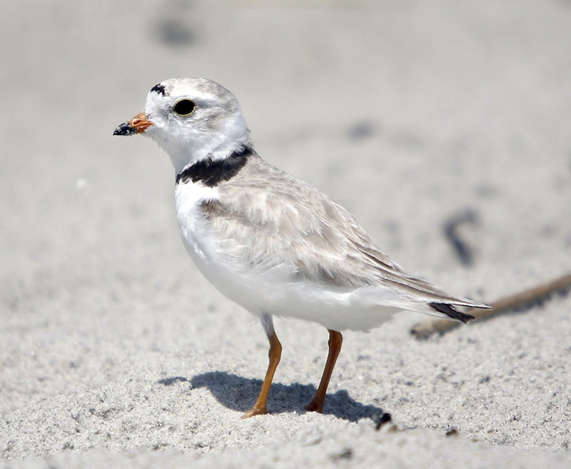 In this 2011 file photo, an adult piping plover on the Old Orchard Beach near a protected nesting area.