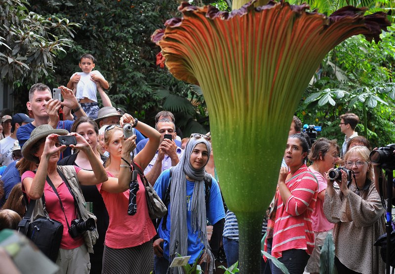 """As many as 20,000 people came Monday to the U.S. Botanic Garden in Washington to see (and smell) the """"corpse flower,"""" the titan arum, which has the largest unbranched inflorescence on the planet. That's botany-speak for one helluva flower, with a central column surrounded by a pleated ruff. SCIENCE PLANT MUSEUM EXHIBIT"""