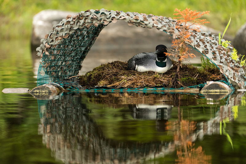A loon rests on a platform that can solve a key problem for the birds: changing water levels that swamp or beach their nests.