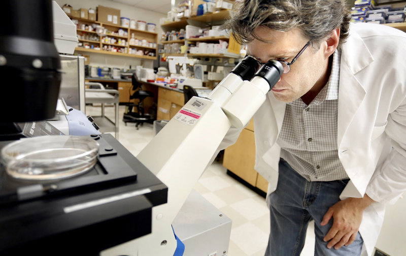 Dr. Peter Brooks views human cells through a microscope at the Maine Medical Center Research Institute in Scarborough on July 1, 2013. Brooks, along with Dr. Xuehui Yang, are working on what could potentially be groundbreaking research into breast cancer treatments.