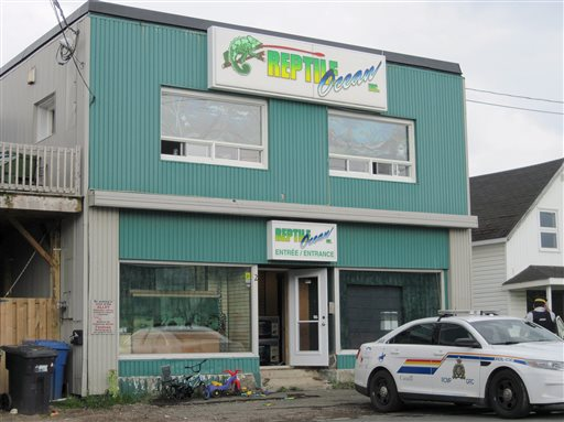 In this Monday Aug. 5, 2013 photo, Royal Canadian Mounted Police work at the scene of a fatal python attack at Reptile Ocean exotic pet store in Campbellton, New Brunswick. Two young boys were killed by a python snake as they slept in an apartment above the store. (AP Photo/The Canadian Press)