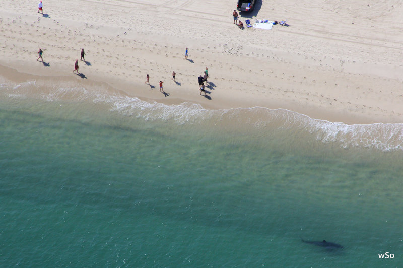 Just when they thought it was safe to go back into the water, beach goers in Orleans, Mass., wisely stay ashore as a great white shark patrols the shallows in search of one of the many seals that populate Cape Cod and the islands.