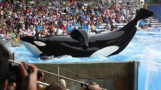 """A scene from the controversial documentary """"Blackfish."""""""