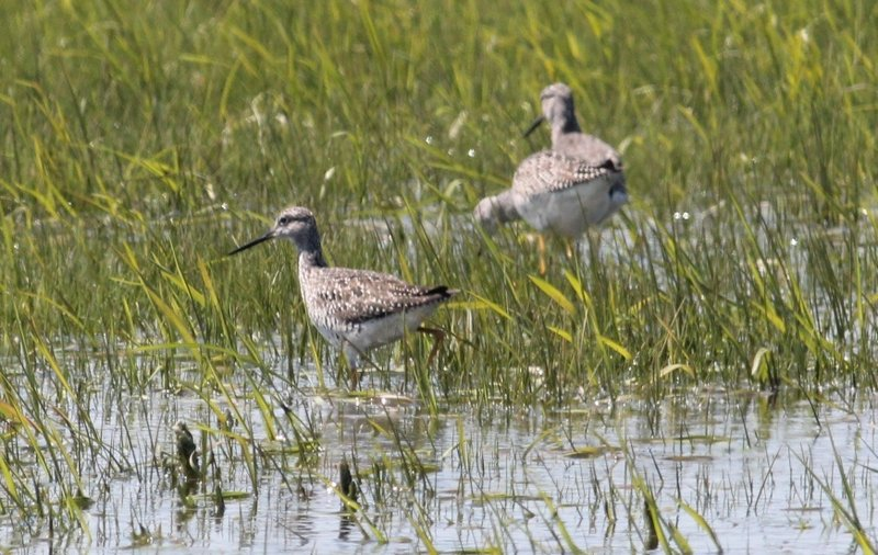 The greater yellowlegs, shown here, and the lesser yellowlegs are somewhat similar in appearance, but a good identification can be made based on the distinct difference of their calls.