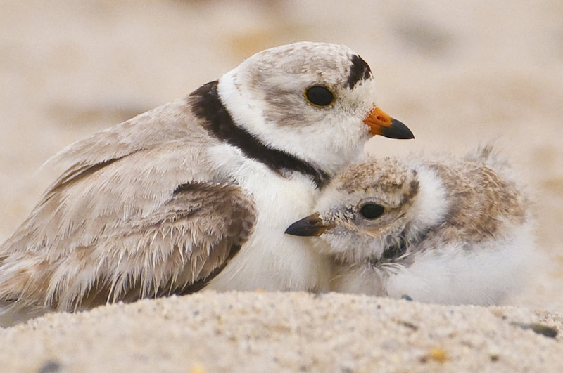 An adult plover stands close by a nesting plover chick. The killing of a chick by an unleashed dog on Scarborough's Pine Point Beach has prompted the town to propose leashing all beachgoing dogs during plover nesting season.
