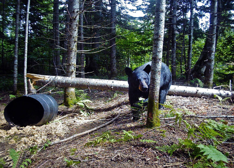 A black bear walks past an empty bait barrel in the Moose River Valley of the Jackman area of Maine during the 2010 hunting season. Bait barrels hold trail mix made of raisins, dried fruit and nuts, granola and doughnuts, said Steve Beckwith, a longtime Maine hunter and hunting guide. Opponents of bear baiting are seeking to ban the practice, saying it's cruel and gives hunters an unfair advantage.