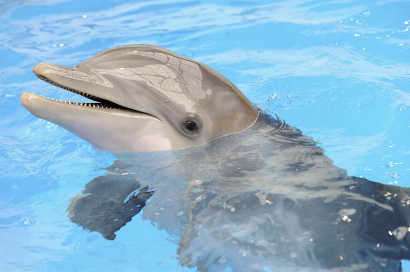 Marine officials say the measles-like virus has been confirmed or suspected in 32 or 33 dolphins tested so far. It is the same virus that caused a 1987-88 outbreak. The virus poses no threat to humans but secondary infections are possible.