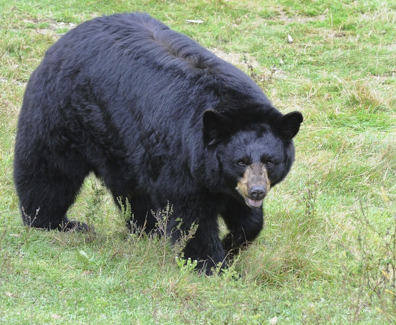 """In this October 2012 file photo, a black bears at the Maine Wildlife Park in Gray. The state would see more bear-human conflicts and """"put residents in serious danger"""" if Maine banned bear baiting, says the LePage administration."""