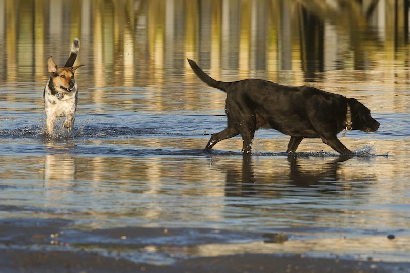 In this July 2013 file photo, Elvis and Jakey frolic in the surf at Pine Point in Scarborough. The Scarborough Town Council postponed a vote Wednesday, Sept. 18, 2013 to ban unleashed dogs from the town's beaches during the spring and summer.