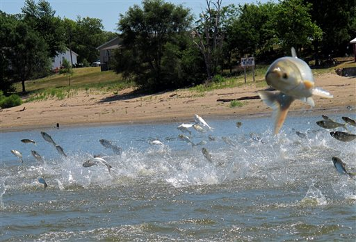 This June 2012 photo shows Asian carp, jolted by an electric current from a research boat, jumping from the Illinois River near Havana, Ill.