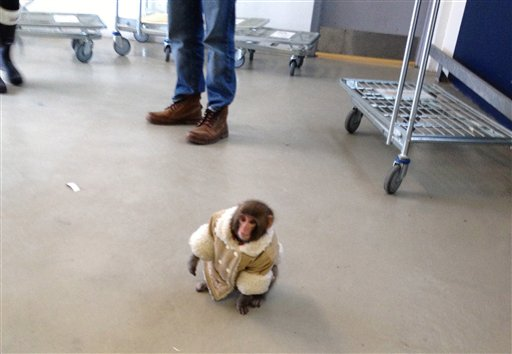 "In this Dec. 9, 2012, photo provided by Bronwyn Page, ""Darwin,"" wearing a winter coat and a diaper, wanders around at an IKEA in Toronto after letting himself out of his crate in a parked car in the store's lot. The monkey's owner, Yasmin Nakhuda, alleges Darwin was illegally taken from her by animal control officials and moved to a sanctuary in Sunderland, Ontario, where he now lives."