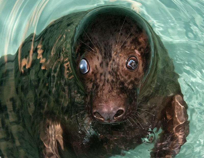 A seal named Georgie that was found stranded along the coast of Maine is shown at The Detroit Zoo in Royal Oak, Mich., in August.