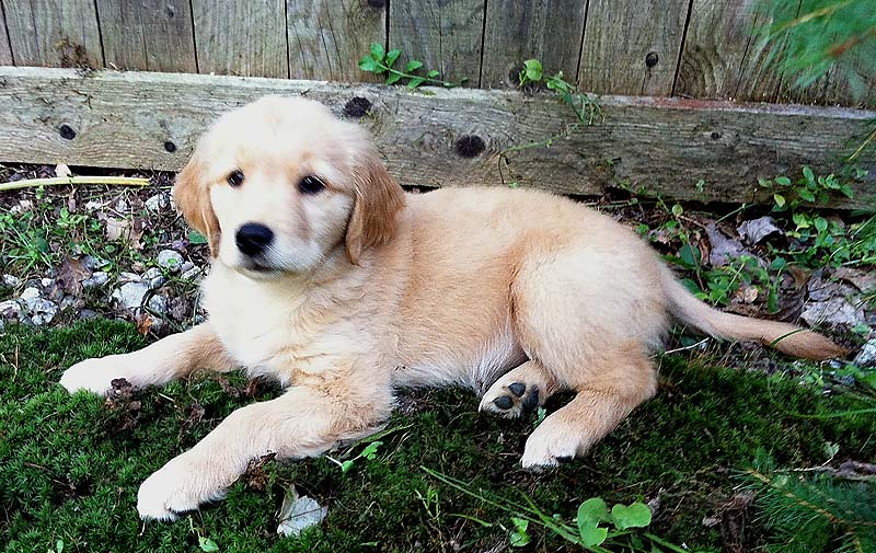 A new golden puppy owned by North Cairn.
