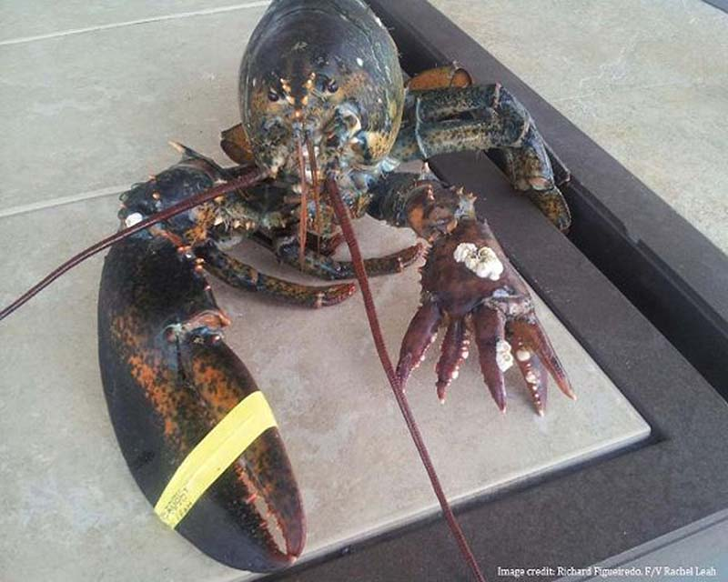 The unusual six-clawed lobster was caught by a fishing crew off the coast of Hyannis, Mass.