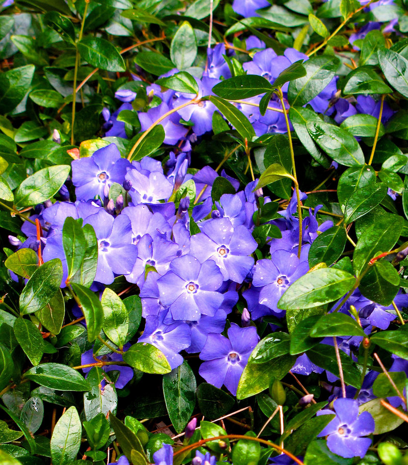Vinca minor (periwinkle or creeping myrtle) spreads quickly as a ground cover, so it may be best in confined areas.