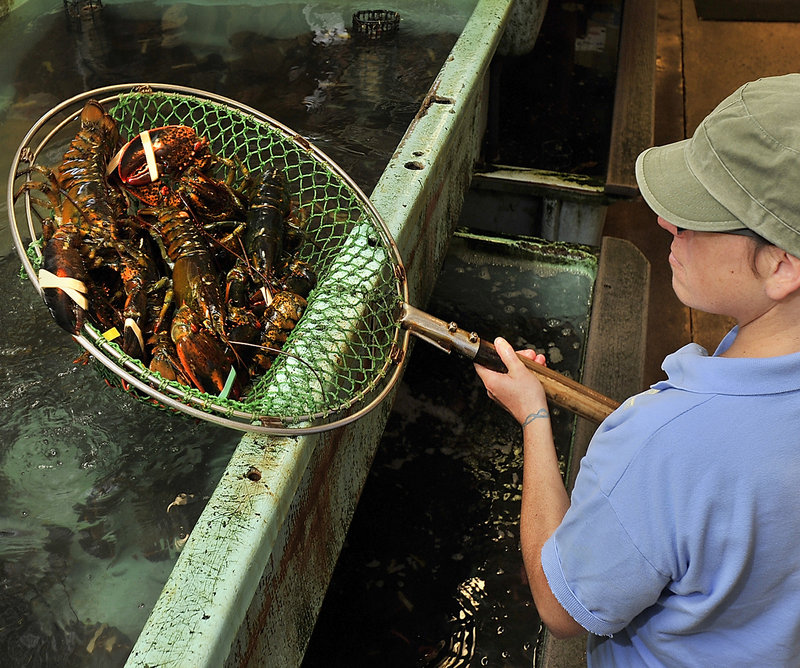 Retail clerk Jessica Spear checks the condition of lobsters in the holding tanks, a process that is repeated each morning and occasionally throughout the day.