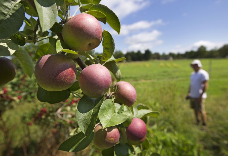 Chris Sprague checks on Macintosh apples growing at the Rocky Ridge Orchard, in Bowdoin, on Friday.
