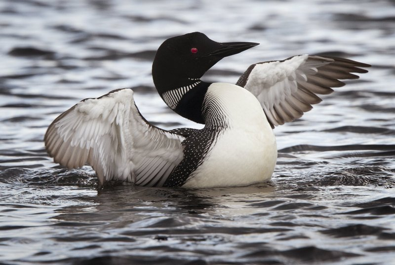 A common loon readies to launch from Cupsuptic Lake, part of the Rangeley Lakes Heritage Trust, in a 2012 file photo. Lead poisoning is the No. 1 cause of loon deaths in Maine.