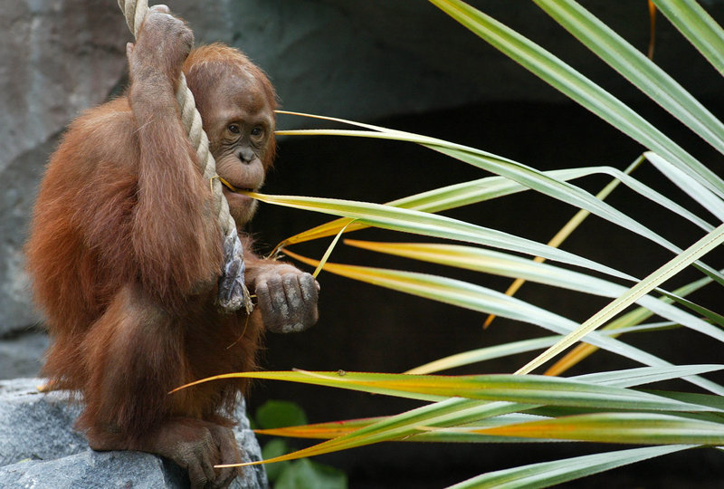 A male orangutan feeds in his enclosure at Hamburg's Hagenbeck Zoo. Scientists say male orangutans plot their routes and broadcast them by whooping the night before they set out.