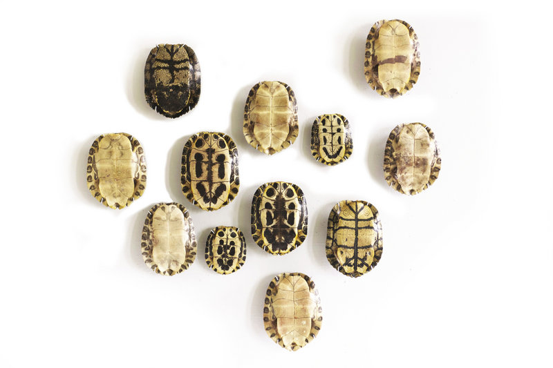 A collection of tortoise shells becomes wall art in the hands of New York designer David Kassel's team.