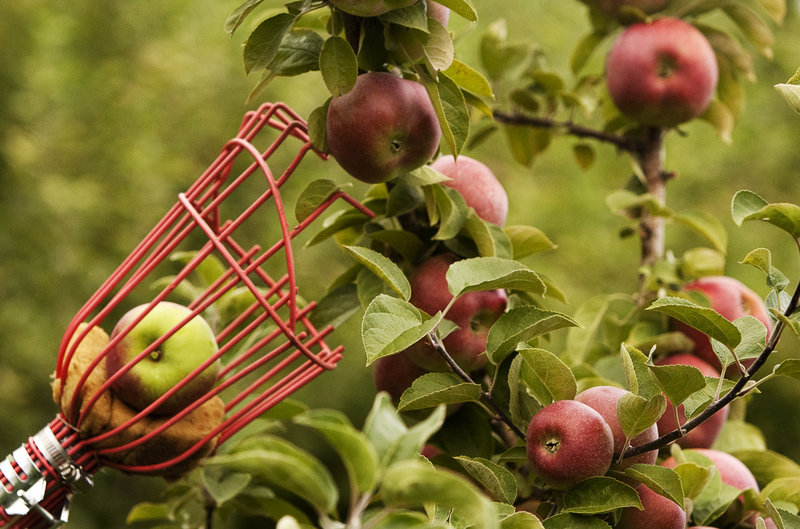A picking pole enables visitors at Hansel's Orchard in North Yarmouth to snatch the hard-to-reach fruit.