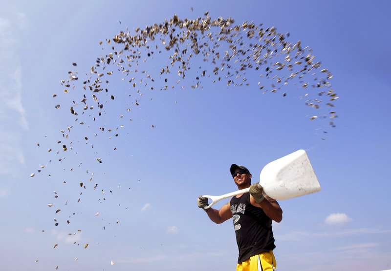 Jason Costa, an employee of Merry's Oysters, broadcasts oyster seed Thursday from a boat into Duxbury Bay in Duxbury, Mass. Oyster harvesting on Boston's south shore has been closed since Aug. 30 due to bacterial contamination.