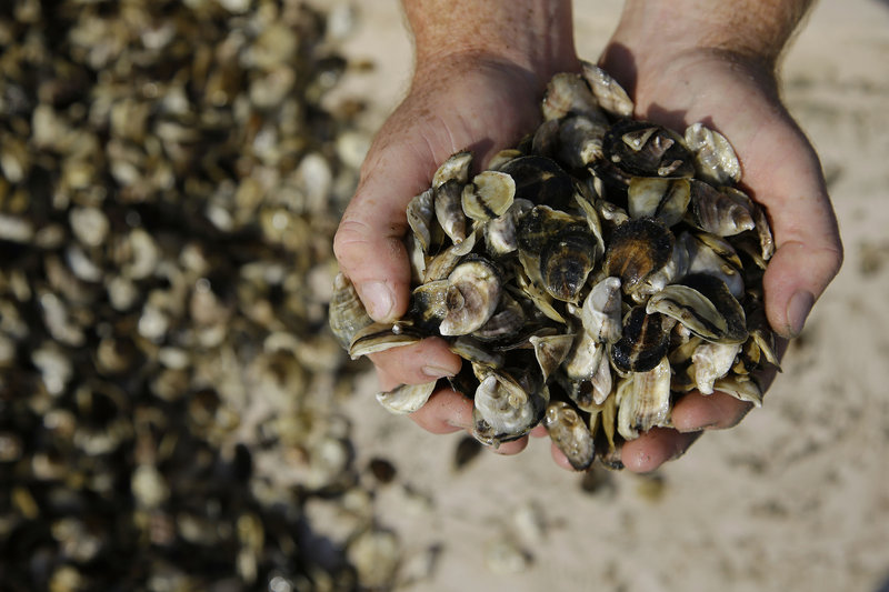 """Don Merry prepares to spread oyster seed in Duxbury Bay. """"The worst thing, is when we get back and rolling, is anybody going to want to eat a Duxbury oyster?"""" he said."""