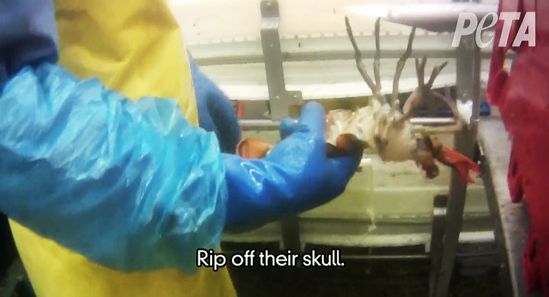 This image taken from a video shot by PETA shows a worker holding a lobster after its shell was removed while it was still alive.