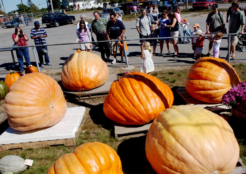 The giant pumpkin display always elicits stares and exclamations of disbelief.