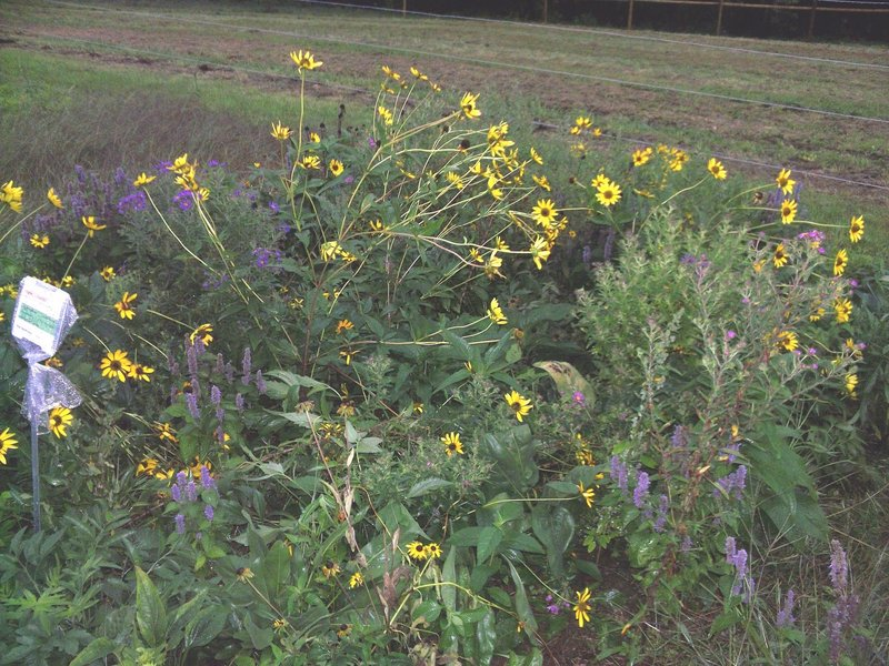 A two-year-old meadow test plot at the University of New Hampshire in Durham, N.H.