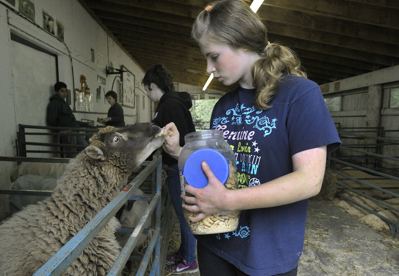 Abby Constantine, 12, of Windham feeds one of her pet sheep, Maggie, a treat after arriving at the 4-H sheep shed at the Cumberland Fairgrounds on Saturday.