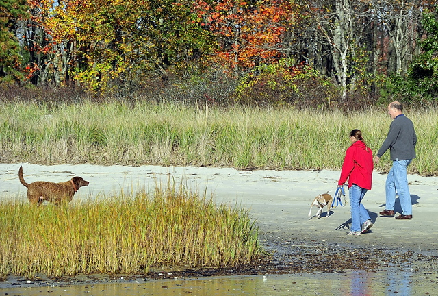 Surrounded by fall colors, Jim and Cynthia Knight of Scarborough let their dogs run on Ferry Beach in Scarborough last week. Scarborough voters will decide on a new leash law.