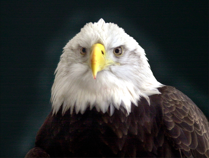 A bald eagle was found dead in Hermon this month and a reward has been offered for information leading to the person who shot it.