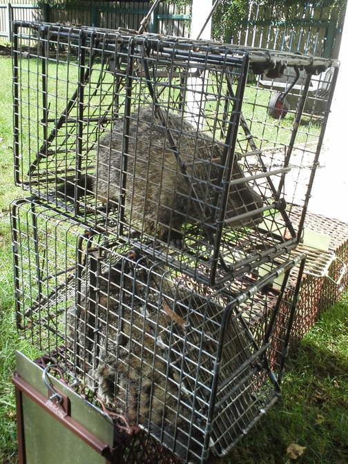 Two groundhogs are caged waiting to be transported from a home where they were captured in Uniontown, Ohio.